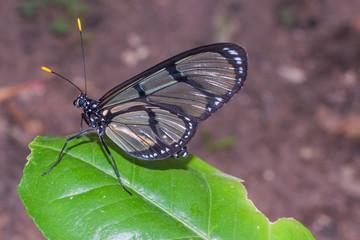 Cattleheart Swallowtail