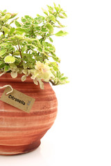 Fresh citronella plant in a clay pot