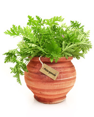 Fresh pelargonium plant in a clay pot