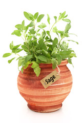 Fresh sage plant in a clay pot