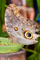 Oileus Giant Owl