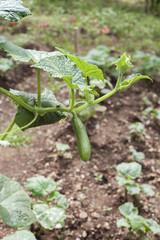 salatalık yetiştirmek