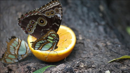 butterflies feeding with orange juice close up
