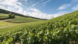 Burgundy landscape- wineyard