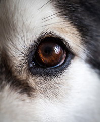 Alaskan Malamute eye