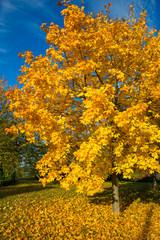 Ahornbaum