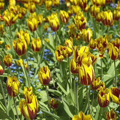 Red an yellow tulips