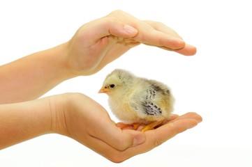 Hühnerküken, schützende Hand
