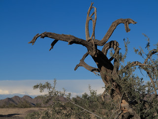 Dead wood in Desert