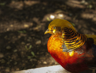 Golden pheasant in spotlight