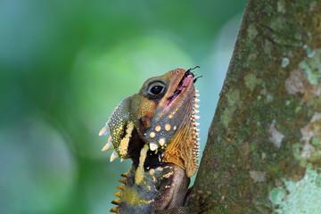 Boyd's forest dragon (Hypsilurus boydii) in Cairns, Australia