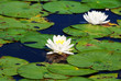Beautiful Summer Pond Lilies in Bloom on a Summer Day