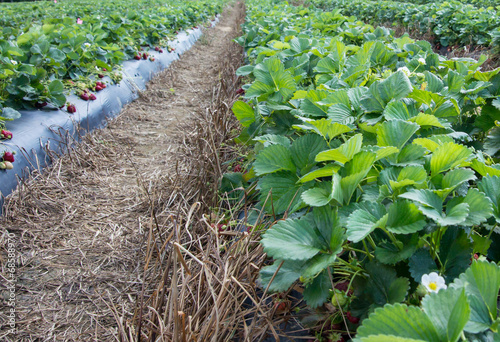 Rows of strawberry bushes
