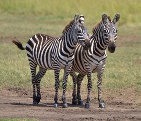 Young Zebras