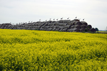 big group white storks on straw bales and yellow rapeseed field