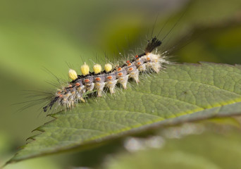 Гусеница бабочки Волнянка  (Orgyia antiqua).