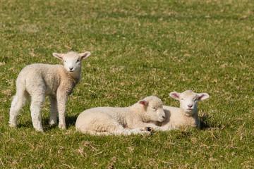 resting lambs