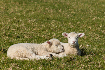 two lambs resting on grass