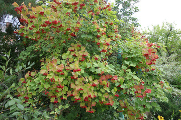 lovely bright beam of ripe viburnum berries on the plant