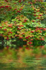 Lovely bright beam of ripe viburnum berries on the plant