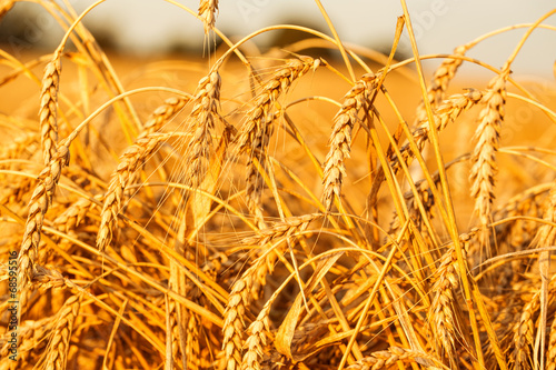 Gold wheat field - 68595516