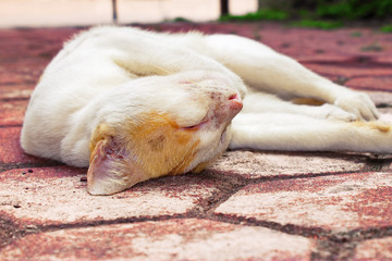 Golden-headed cat's lazy time