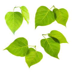 Bodhi or Sacred fig leaf set isolated