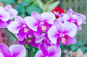 Beautiful purple orchid  phalaenopsis