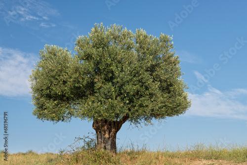 Lone Olive Tree