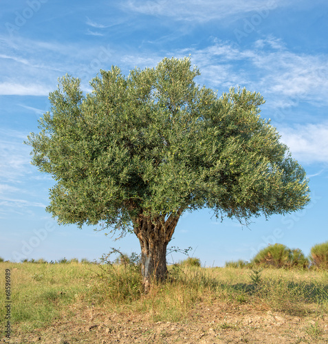 Tuinposter Olijfboom Lone Tree