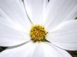 Le coeur d'une fleur blanche