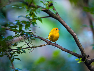 Yellow bird sitting on a branch, wildlife