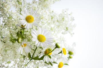 Margeritenblüten vor Wilder Möhre