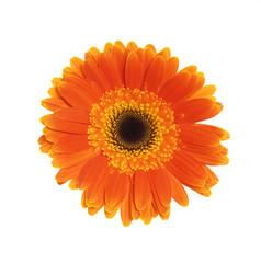 Orange flower of gerber isolated