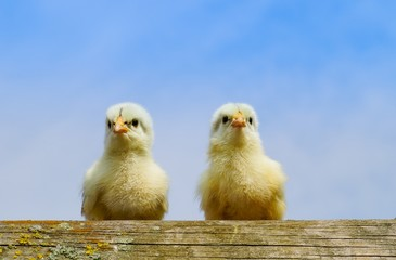 Zwei kleine Küken sitzen draußen auf  einer Holzstange