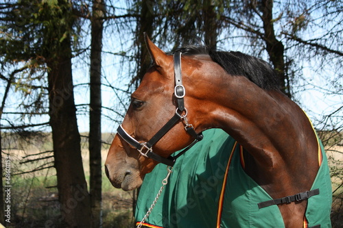 Foto op Canvas Paardensport Latvian breed bay horse in green coat portrait in summer