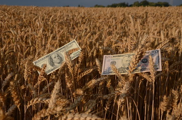 dollars banknotes money on ripe wheat ears in field