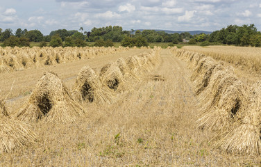 Wheat sheaves piled into stooks at harvest time