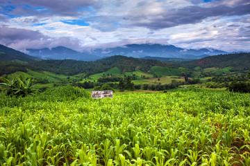 Corn fields in northern Thailand