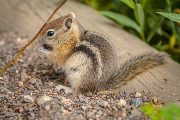 Cute little Chipmunk