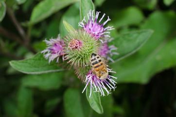 öffnende Distelblüten mit Biene