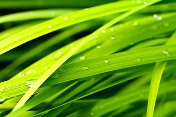 Regnstänkta gröna blad