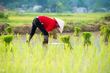 Rice transplanting in Vietnam