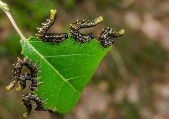 scared sawfly larvae