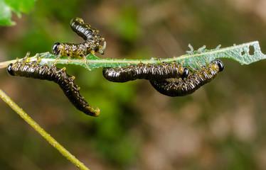 Kahlfrass: Blattwespenlarven, verschiedene Stadien