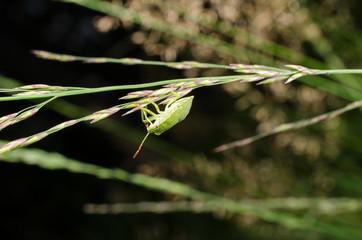 Wildwiese mit grüner Stinkwanzen-Nymphe