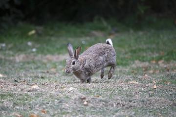 Rabbit, Lepus curpaeums