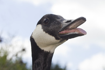 Canada Goose hissing mouth open