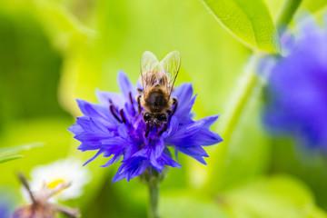 Biene beim Honig sammeln auf einer Kornblume - frontal