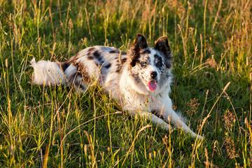 Border Collie walking in a field